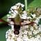 hummingbirdmoth2