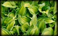 Shades of green fresh leaf