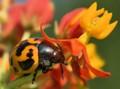 Shiny Fungus Beetle