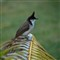 Maritius Red-whiskered Bulbul
