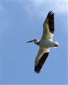 A Flying Pelican