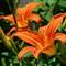 Backyard Daylilies