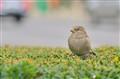 Street Sparrow