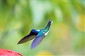 Humming bird in a Cloud Forest Equador
