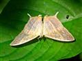 Eyeballing moth