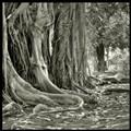 Old Giant Ficus - Palermo's Botanic Garden
