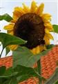 4 metre high sunflower