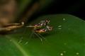 stilt legged flies mating