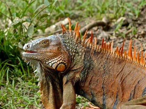 Green Iguana (male) 20161