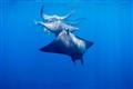 Little manta rays