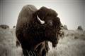 Big Bull Bison