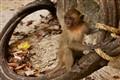 Tonsai beach monkey