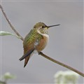 Rufous Hummingbird_3724crop2