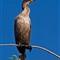 cormorant_4280