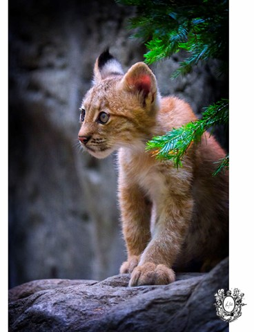 3 Months Old Baby Lynx Montreal Photographer Hera Bell
