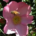 Bee in Flight