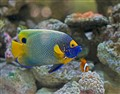 Blue Faced Angelfish in the company of Nemo