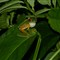 Red Eye Tree Frog from Pacific Costa Rica
