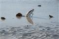 Sanibel Gull