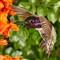 Costas Hummingbird, May 2012