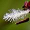 Grass flower 01
