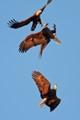 three eagles, one fish
