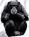 Chimpanzee Musing