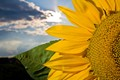 Sunandflower