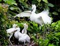 egret family