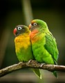 A-couple-of-Love-Birds