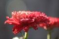 trisan flower