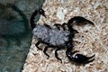 scorpian laden with new borns