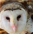 Philippine Grass Owl