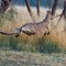 Kangaroo jumps over wire fence