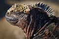 Close up of a Marine Iguana