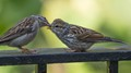 Chipping Sparrow getting a snack from mom