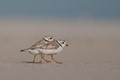 Piping Plovers...