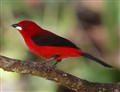 BR tanager
