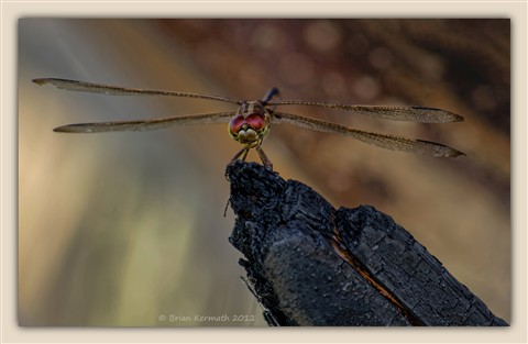 Dragonfly, perhaps a green darner (Anax junius), on a burnt petiole of a cabbage palm (Sabal palmetto - Arecaceae)