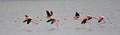 DSC_2178a flamingoes