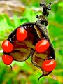Seedpod of the Rosary Pea