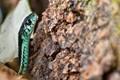 Puget Sound Garter Snake
