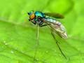 The long-legged flie - Dolichopodidae,