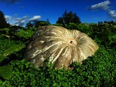 big gourd
