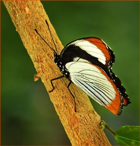 Butterfly3N