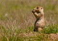 prairie dog (1 of 1)