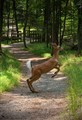 White tailed deer jumping