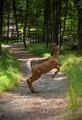 White tailed deer jumping