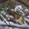 Snow forsythia