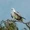 Sea Eagle, Heron island